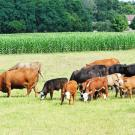 Cattle and Corn